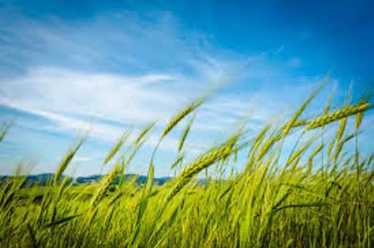 wheat-field principle